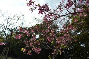 22八重瀬公園_遊び場_桜