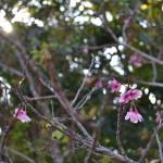 17八重瀬公園_階段桜