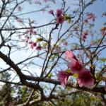 32八重瀬公園_頂上_桜