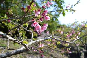 08八重瀬公園_階段桜