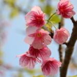 八重瀬公園の桜でカメラの練習