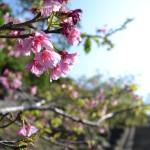 09八重瀬公園_階段桜2