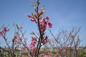04-1八重瀬公園_坂の桜